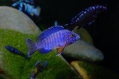 Рыбы аквариума cichlid Малави пресноводные Стоковая Фотография RF