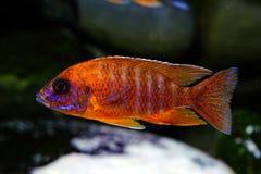 Рыбы аквариума cichlid Малави пресноводные Стоковые Изображения RF