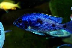 Рыбы аквариума cichlid Малави пресноводные Стоковое фото RF