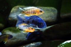 Рыбы аквариума cichlid Малави пресноводные Стоковые Фото