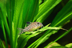Рыбы аквариума. Julii Corydoras стоковые фотографии rf