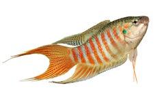 Рыбы аквариума opercularis Macropodus осфронемовых рыб рая тропические Стоковые Фото