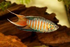 Рыбы аквариума opercularis Macropodus осфронемовых рыб рая тропические Стоковые Изображения RF