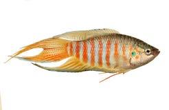 Рыбы аквариума opercularis Macropodus осфронемовых рыб рая тропические Стоковые Изображения