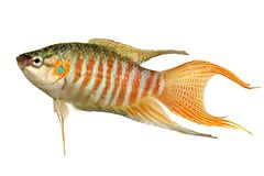 Рыбы аквариума opercularis Macropodus осфронемовых рыб рая тропические Стоковое фото RF