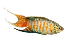 Рыбы аквариума opercularis Macropodus осфронемовых рыб рая тропические Стоковое Фото