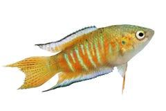 Рыбы аквариума opercularis Macropodus осфронемовых рыб рая тропические Стоковая Фотография