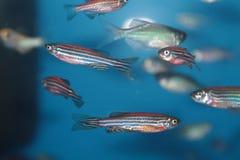 Рыбы аквариума Zebrafish (rerio Danio) Стоковые Фото