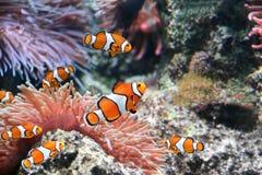 Рыбы актинии и клоуна стоковая фотография rf