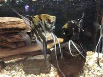 Рыбы ангела стоковые изображения rf