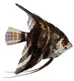 рыбы ангела Стоковое Фото