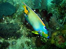 рыбы ангела Стоковая Фотография