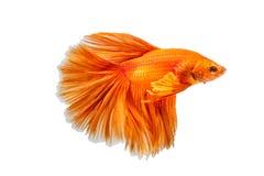 Рыбы апельсина воюя изолированные на белой предпосылке Стоковая Фотография RF
