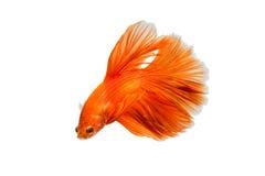 Рыбы апельсина воюя изолированные на белой предпосылке Стоковые Фото