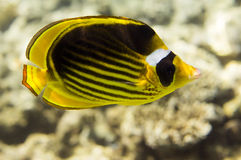 Рыбы бабочки Стоковое Фото