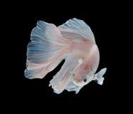 Рыбы белой платины Platt сиамские воюя Белое сиамское fighti Стоковые Изображения RF