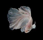 Рыбы белой платины Platt сиамские воюя Белое сиамское fighti Стоковое Фото