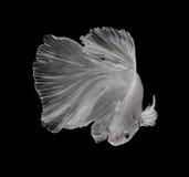 Рыбы белой платины Platt сиамские воюя Белое сиамское fighti Стоковые Фотографии RF