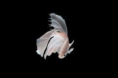 Рыбы Бело-серебра сиамские воюя, рыбы betta на черной предпосылке Стоковая Фотография RF