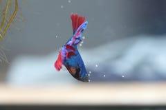 Рыбы бизона собирают яичка в гнезде пузыря Стоковые Изображения RF