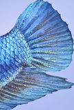рыбы бой сиамские Стоковое фото RF