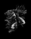 рыбы бой сиамские Стоковые Фотографии RF