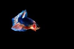рыбы бой сиамские Стоковое Фото