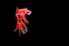 рыбы бой сиамские Стоковое Изображение