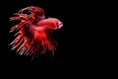 рыбы бой сиамские Стоковые Изображения RF