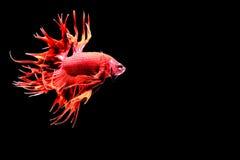 рыбы бой сиамские Стоковые Изображения