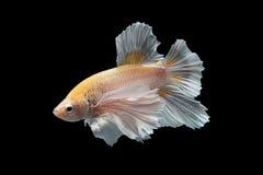 рыбы бой сиамские Стоковая Фотография RF