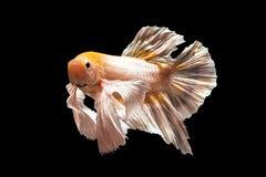 рыбы бой сиамские Стоковая Фотография