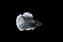 рыбы бой Стоковое Изображение RF