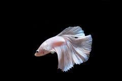 рыбы бой Стоковые Фото