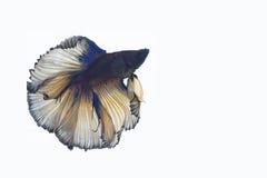 рыбы бой Стоковое Фото