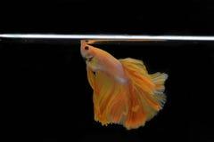рыбы бой Стоковые Изображения