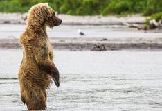 Рыбы бурого медведя стоковые изображения rf