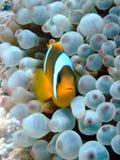 рыбы ветреницы Стоковая Фотография RF