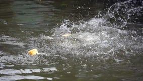 Рыбы воюют для хлебов видеоматериал