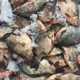 Рыбы вырезуба Crucian Стоковое Изображение RF