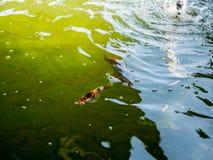 Рыбы вырезуба Koi Стоковое Фото
