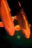 Рыбы вырезуба Koi Стоковые Изображения