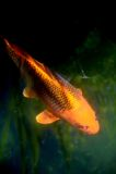Рыбы вырезуба Koi Стоковые Фото