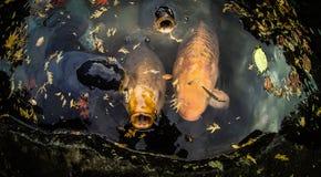 Рыбы вырезуба Koi Стоковое Изображение