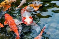 Рыбы вырезуба Koi Стоковая Фотография