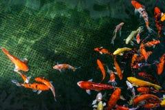 Рыбы вырезуба Koi Стоковые Изображения RF