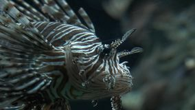 Рыбы в аквариуме Пурпурные рыбы в аквариуме Рыбы льва сток-видео