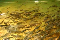 Рыбы в водопаде Стоковые Фото