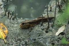 Рыбы в лесе мангровы Стоковые Фотографии RF
