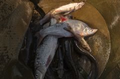 Рыбы в клетке задвижка Стоковые Фотографии RF